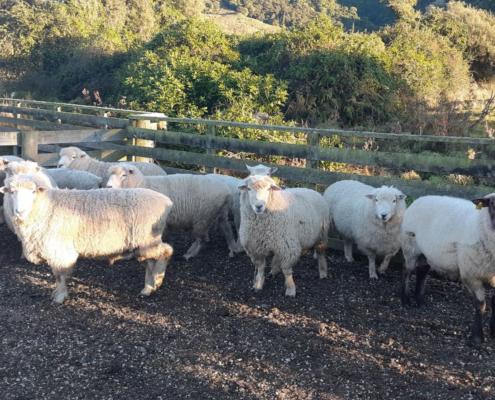 Post quake farming sheep performance 4WD tour